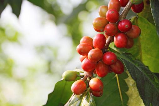 bacche di caffè o ciliegie sul ramo