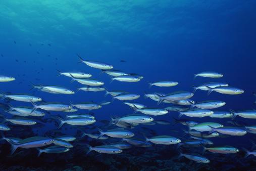 pesci mare