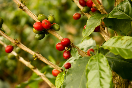 caffe pianta