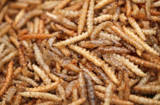 Il contributo degli insetti nell'alimentazione animale come alternativa alla soia