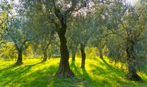 Xylella fastidiosa i funghi da soli non possono dissecare for Acquisto piante olivo