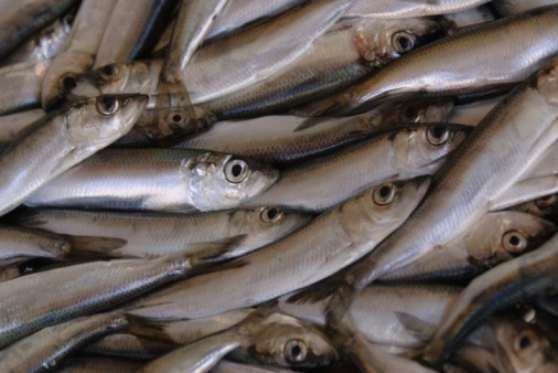 acciuga pesce