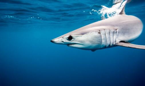 squalo mako
