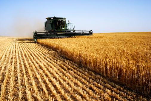 campo grano agricoltura