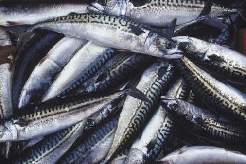 sgombro pesce