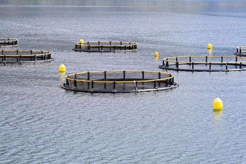 """Un'acquacoltura sostenibile grazie ai pesci """"vegetariani"""". Uno studio USA apre la strada alla ricerca di nuove specie commerciali"""