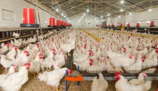 polli, allevamento , pollaio