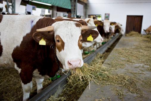 Alghe rosse nei mangimi dei bovini per abbattere le emissioni di metano: l'idea dei ricercatori americani