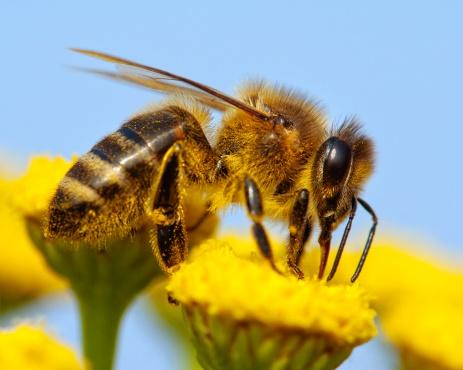 Il glifosato danneggia il sistema immunitario delle api. In aumento la mortalità dell'insetto