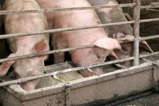 Antibiotici nei mangimi allevamento maiali 177502410