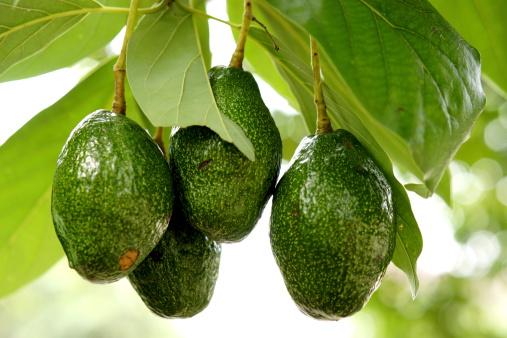 Avocado, tra dieci anni sarà il frutto tropicale più venduto nel mondo e soprattutto in Europa e Usa