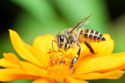 ape fiore