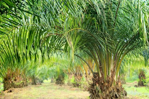 Ma l'olio di palma certificato è veramente sostenibile anche se proviene da terreni deforestati? Il parere di Roberto Cazzolla Gatti