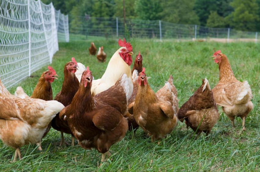 Benessere animale, l'allevamento biologico è il più rispettoso: spazi più ampi, accesso all'aperto e mutilazioni vietate