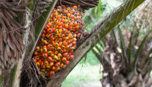 olio di palma Palm fruit on the tree, tropical plant for bio diesel production