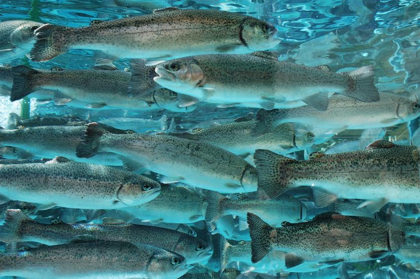 pesce trota allevamento iStock_000004008314_Small