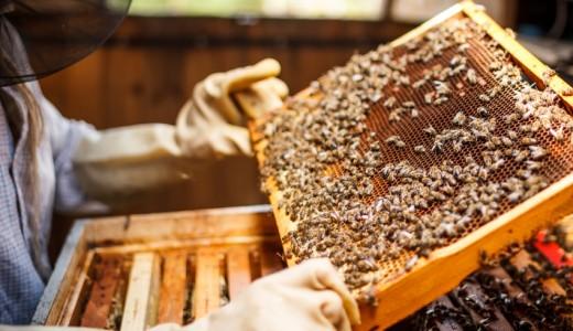 apicoltore api favo apicoltura miele