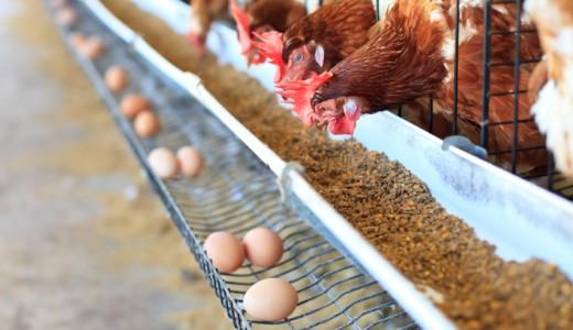 Stop alle uova di galline allevate in gabbia, il rapporto di Ciwf premia Barilla e registra progressi nelle filiere