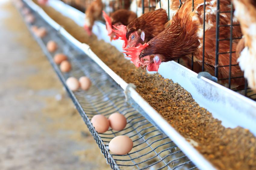 Benessere animale, in Italia il 75% degli animali è ancora allevato nelle gabbie. Ma soluzioni alternative sono possibili