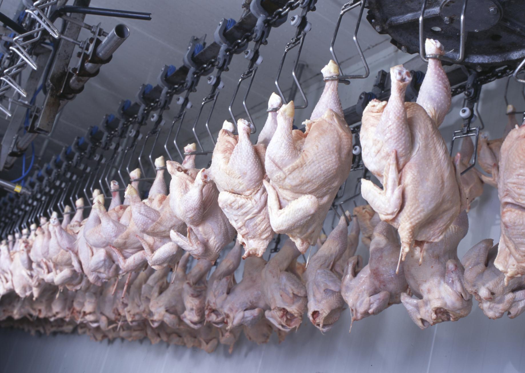 Poveri polli: soffocati, bolliti vivi o morti congelati! Negli Usa non ci sono adeguate normative per il benessere del pollame