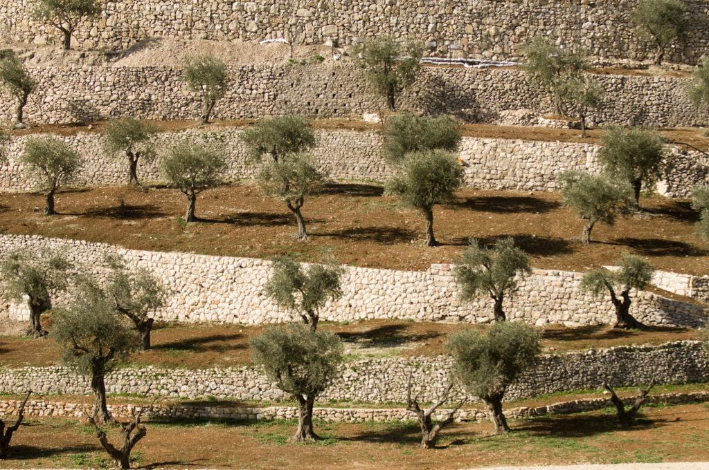 israele cisgiordania ulivi iStock_000011533935_Full territori occupati