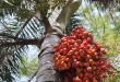 Olio di palma, Nestlé e PepsiCo rompono con fornitore indonesiano. Decisione autonoma e motivata