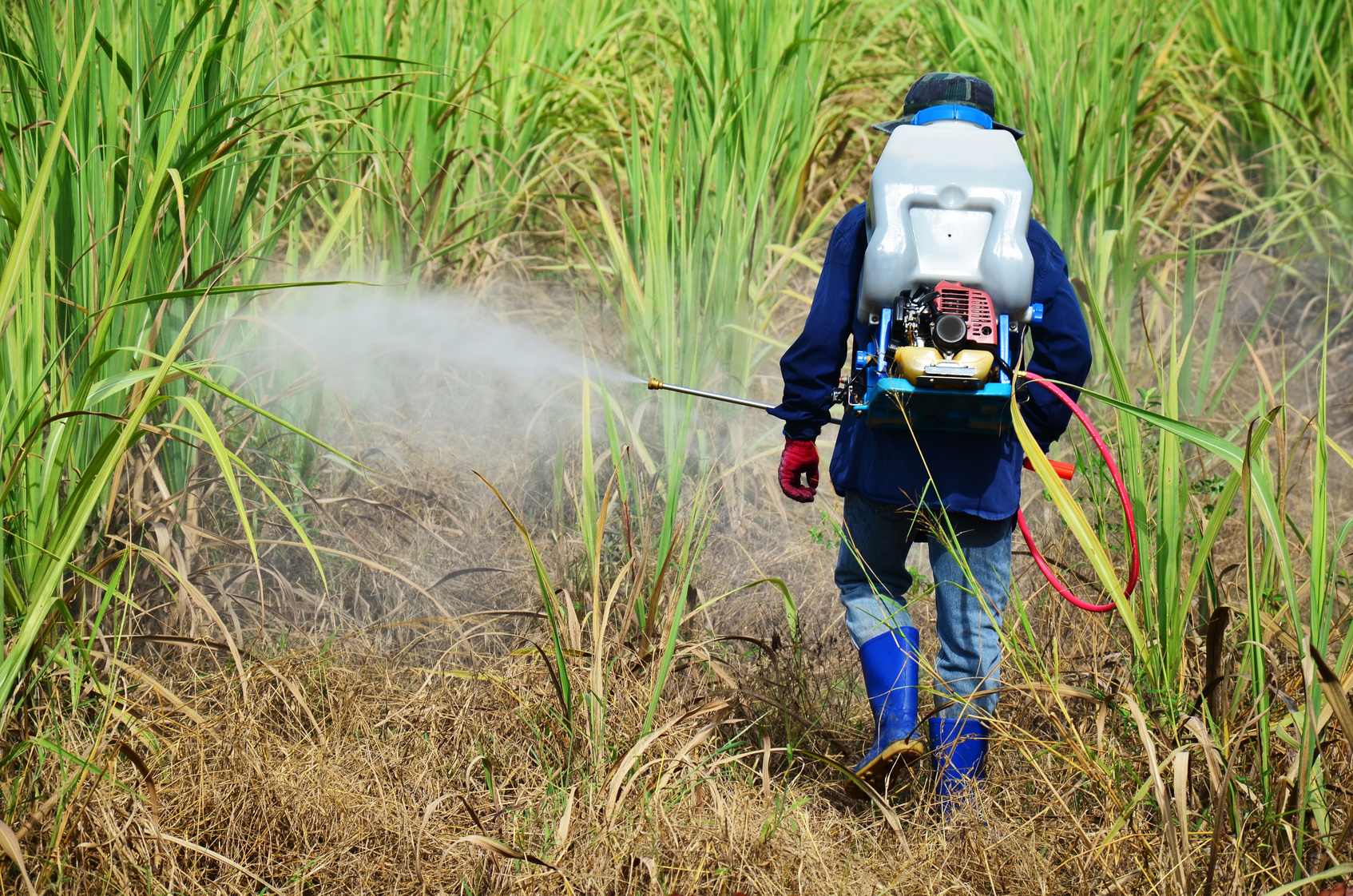 Farmer spraying herbicide on Sugarcane Field