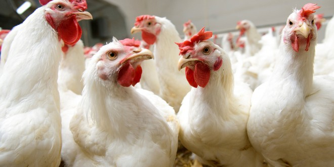 Influenza aviaria, i primi casi del virus H5N8 negli esseri umani. Il mercato delle uova risente della crisi