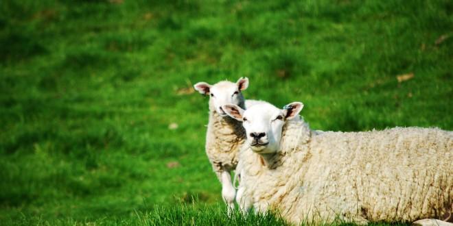 pecora agnello pascolo