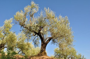 ulivo olive pianta