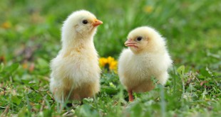 Two young chickens