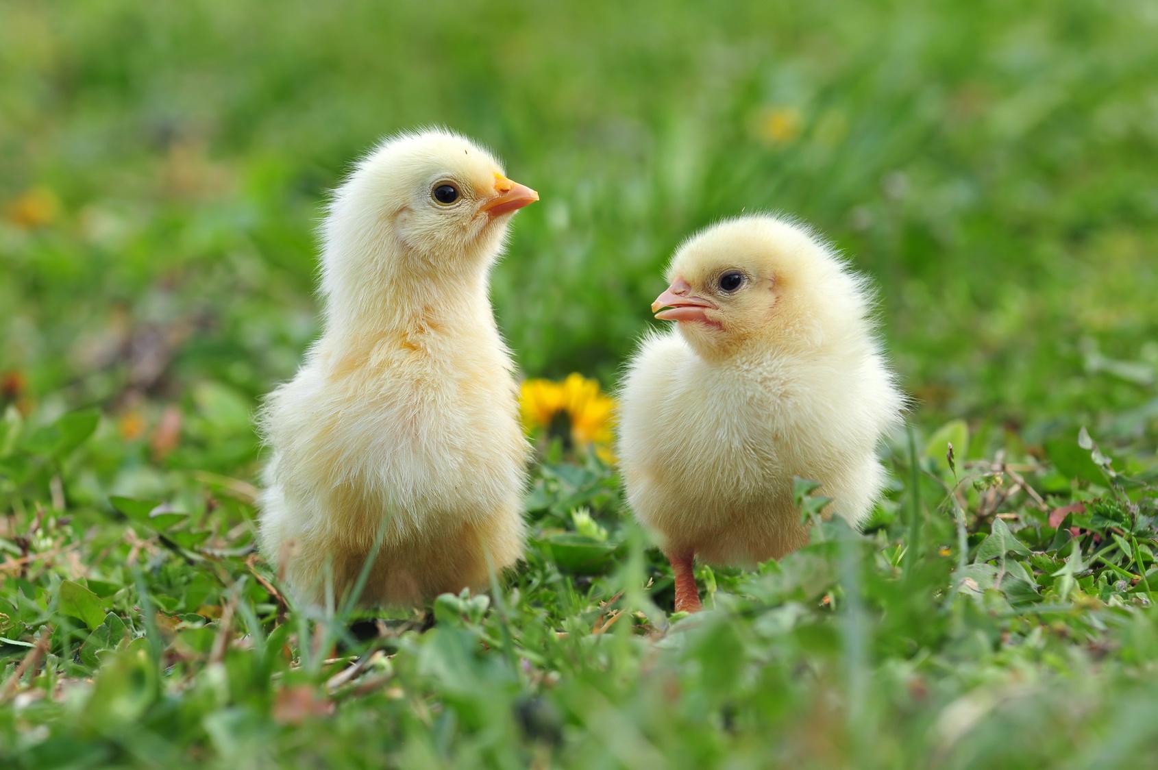 Pulcini maschi delle galline ovaiole: Coop ha detto basta alla strage