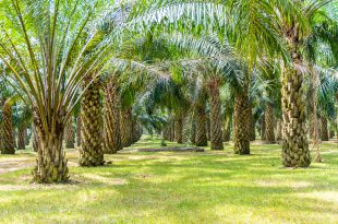 palm oil tree