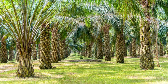 Wilmar, il più grande fornitore mondiale di olio di palma, monitorerà le piantagioni con i satelliti. Soddisfazione di Greenpeace