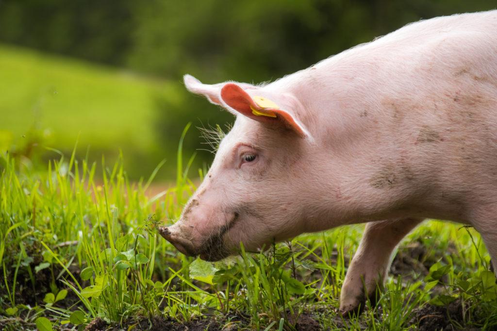 maiale biologico