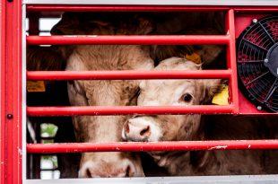 animali vacca manzo allevamento