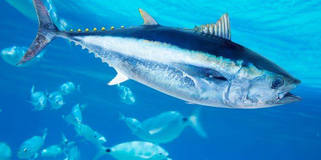 tonno pinna blu atlantico mercurio
