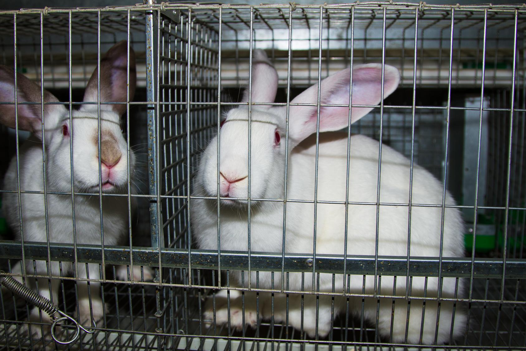Risultato immagini per coniglio+pandemia