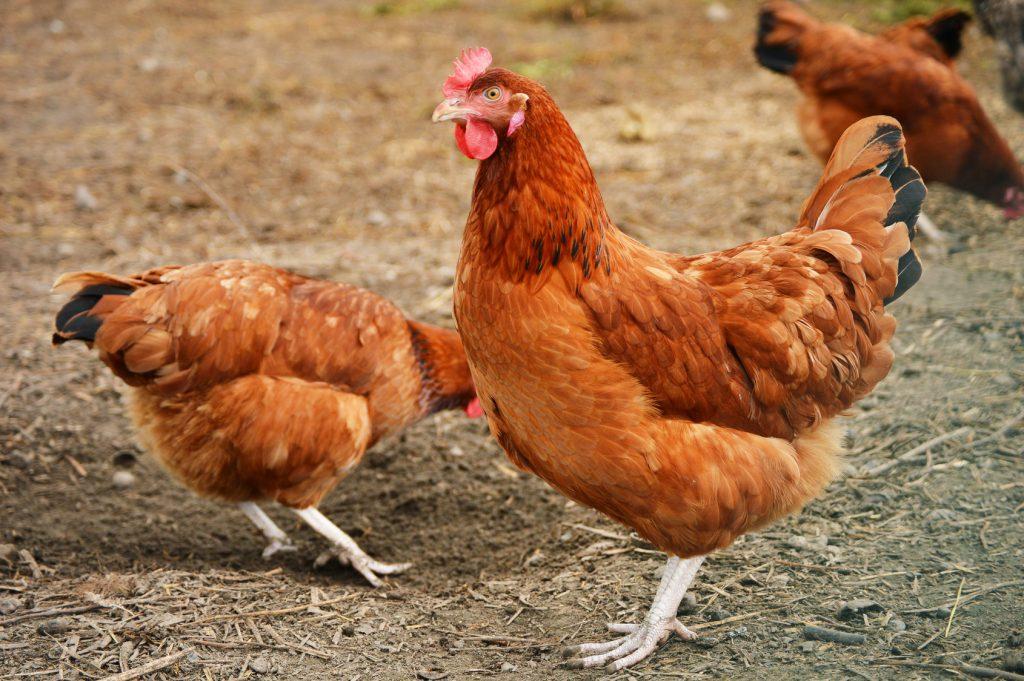 pollo carne animali allevamento influenza aviaria