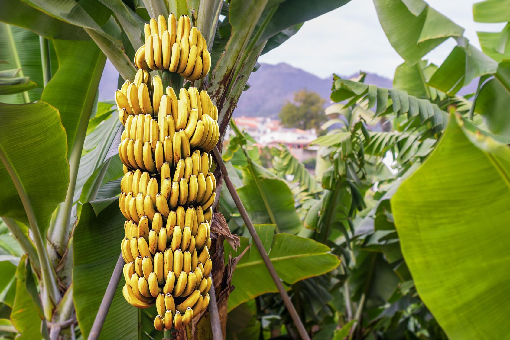Pianta Di Banana Foto banane in pericolo: un fungo potrebbe spazzare via le cavendish