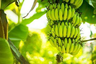 Banane piantagione