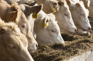 white cows eating silage