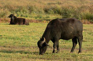 allevamento di bufali d'acqua