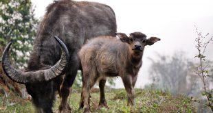 bufalo d'acqua bufalino annutolo