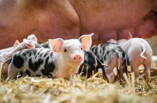 maiali maialini code paglia scrofa allevamento