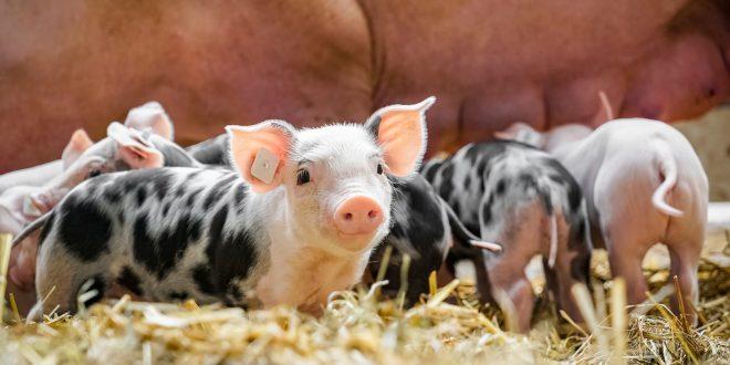 Benessere animale: per la certificazione e l'etichetta ci sono ancora diversi problemi da risolvere