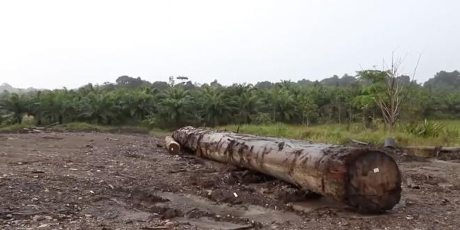 Olio di palma e deforestazione, di nuovo sotto accusa Wilmar, il più grande fornitore mondiale. La denuncia di Greenpeace
