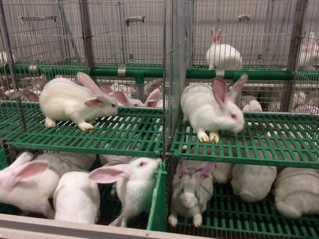 conigli allevati
