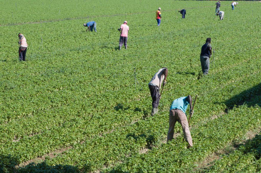 sfruttamento immigrazione caporalato campi agricoltura filiera