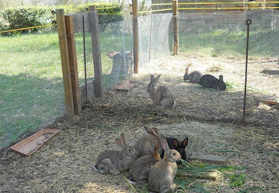 Conigli allevati a terra